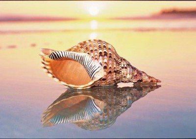 1211 seashell